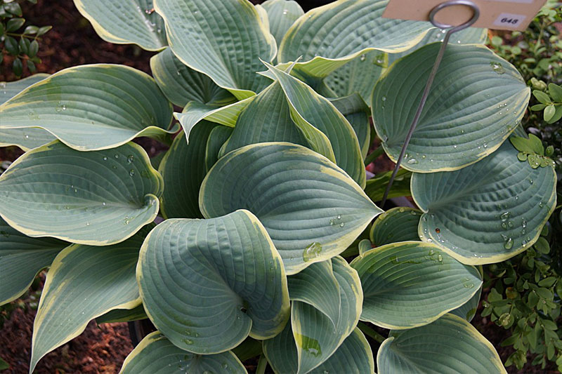 Hosta: Frosted Dimples